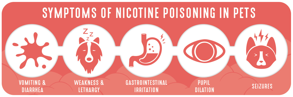 Symptoms of nicotine poisoning in pets